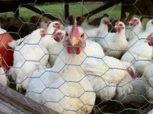 "Moveable ""chicken tractors"" grow happy, healthy broiler chickens."