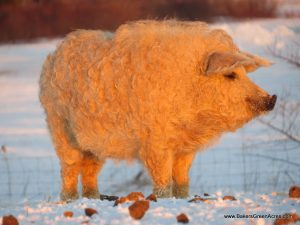 A very fat blond Mangalitsa.