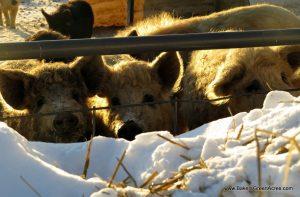 Mangalitsa pigs enjoying winter sunshine.