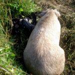 Mangalitsa sow with piglets on pasture.