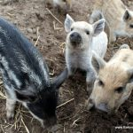 Curious baby pigs are almost always present!