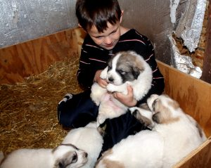 Jim playing with the Great Pyranees puppies