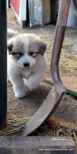 A Great Pyranees puppy checking out the barn.