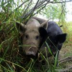 Heritage breed Mangalitsa pigs on pasture.