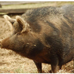 """An Osabaw Pig could be mistaken for an """"old world swine."""""""