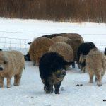 Mangalitsa pigs in winter.
