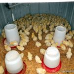 Pastured Poultry 101