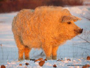 A very fat blond Mangalitsa.