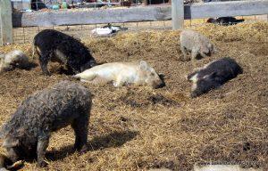 "Mangalitsa ""wooly"" pigs enjoying spring sunshine"