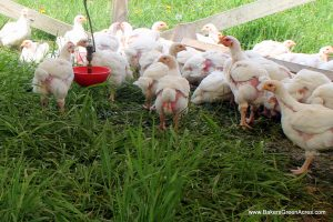 Chickens in their moveable pens on the pasture.